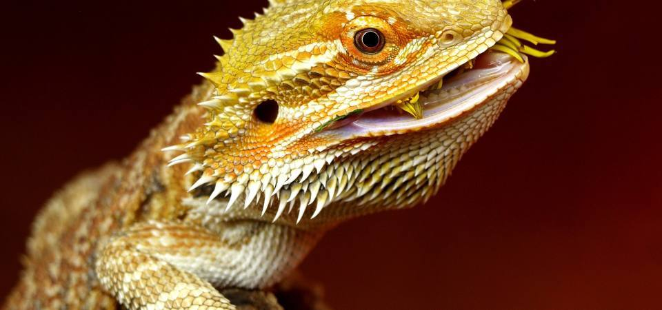 What Do Bearded Dragons Eat In The Wild?