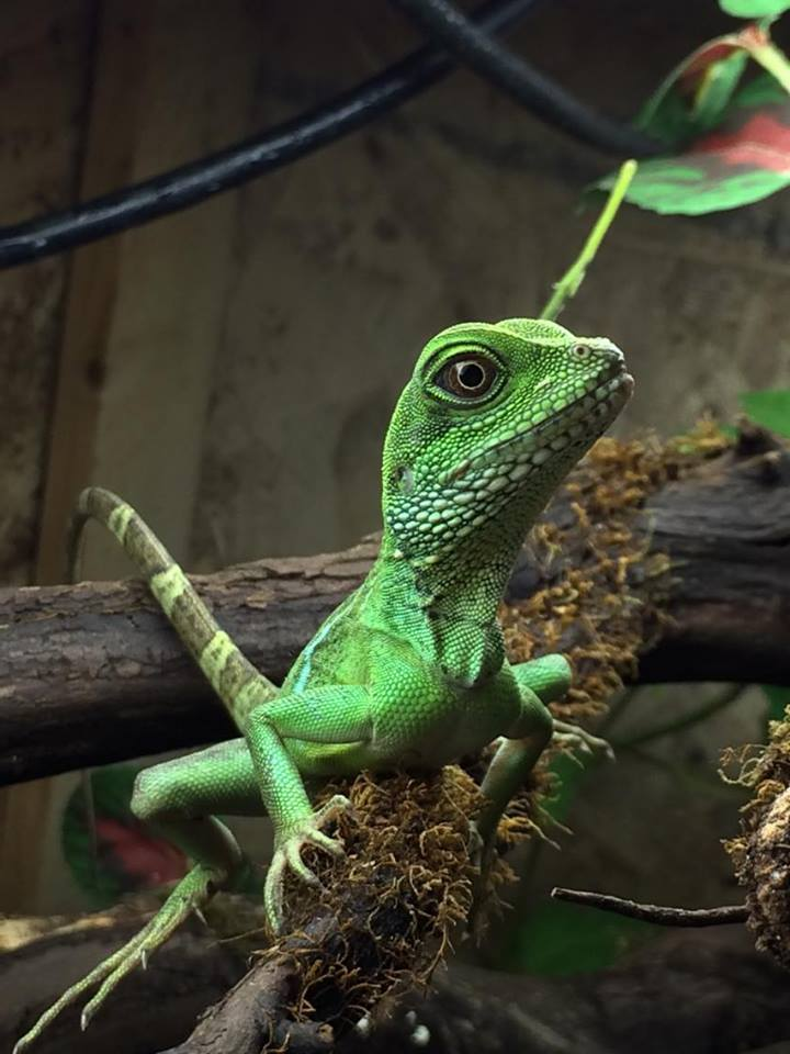 TailsNTeeth-Exotic-Animals-Reptiles-Lizards-Chinese-Water-Dragon-Lizard