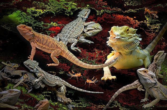 Raising Bearded Dragons Pogona Vitticeps Tailsnteeth