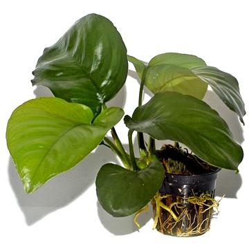anubias barteri var. caladiifolia-potted